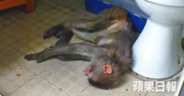 The malnourished monkey.