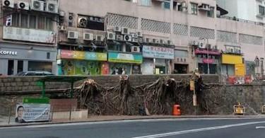 banyan cut down