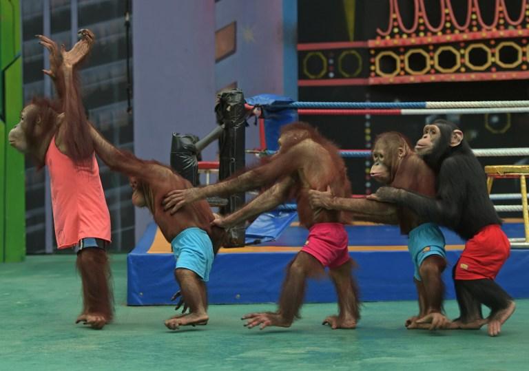 thailand boxing animal