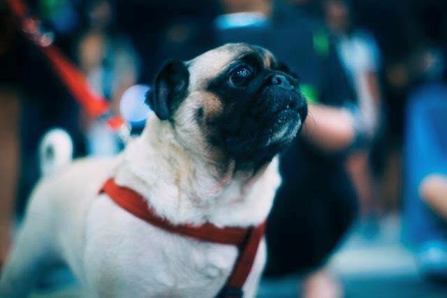 pug dog rights concern group