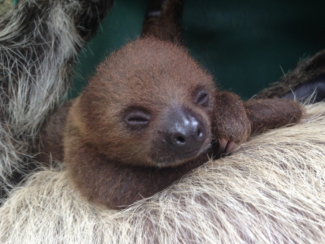 sloth baby