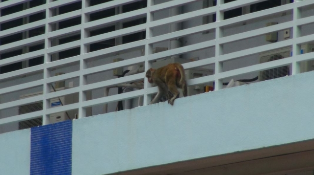 monkeys at basketball court
