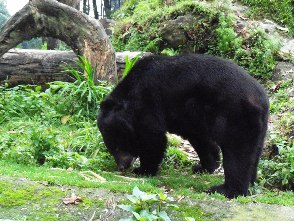 Asian_black_bear_in_Darjeeling_Zoo