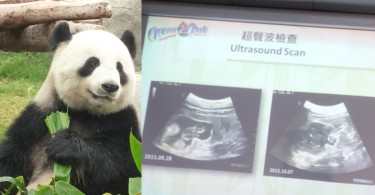 Ying Ying the panda, with the ultrasound scans.