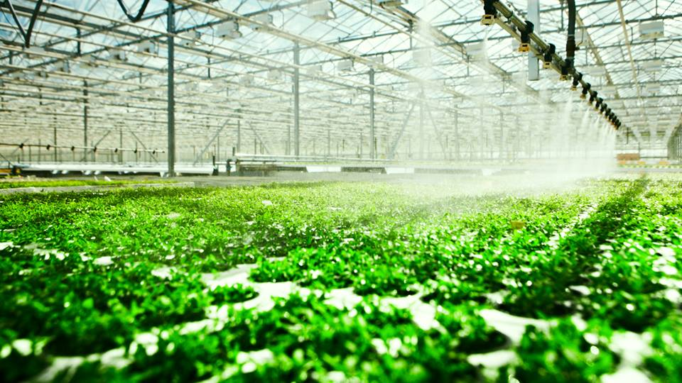 Hydroponic vegetable production