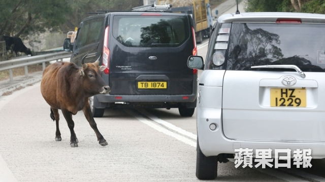 Cattles are commonly seen in south Lantau. Photo: Apple Daily.