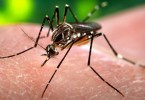mosquito virus zika