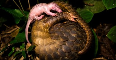 Curled up mother pangolin with baby.