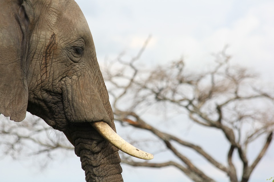 Hong Kong's ivory trade: When the buying stops, the killing