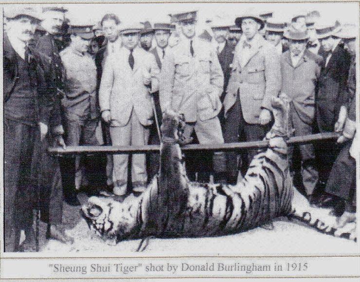 Shot Sheung Shui Tiger