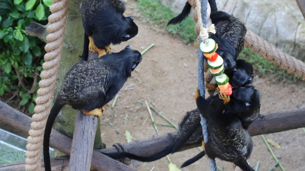 Red-handed Tamarins enrichment food