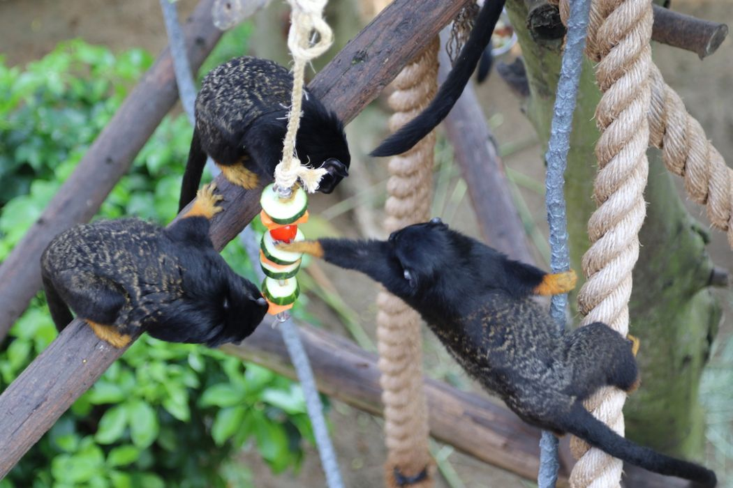 Tamarins grabbing food on skewer