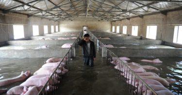pig farm shanghai