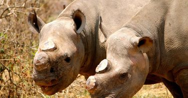 rhino dehorn