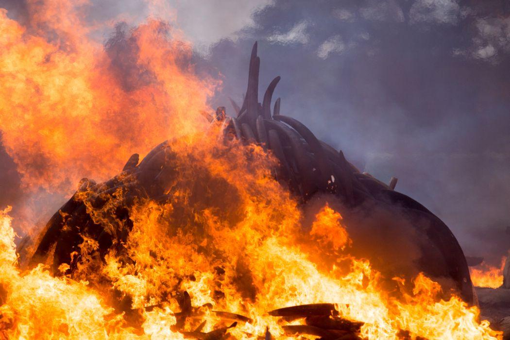An ivory burn in Kenya. Photo: Wikicommons/Mwangi Kirubi.