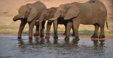 elephants ivory