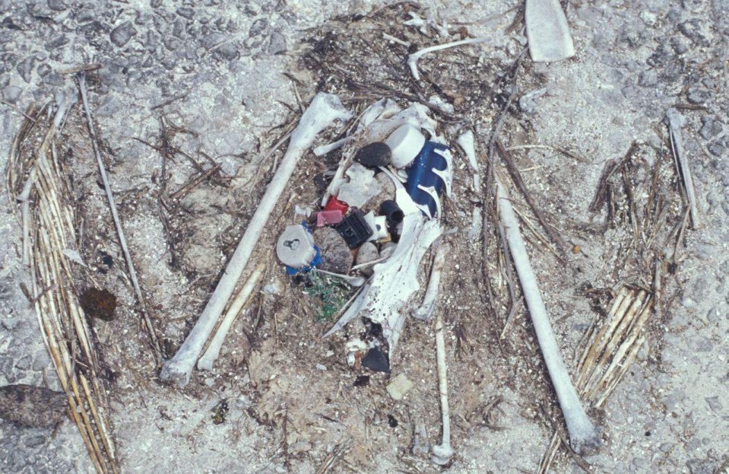 plastic in bird remains