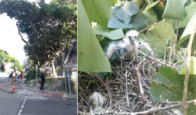 tree trimming pruning team tai po baby bird Leisure and Cultural Services Department