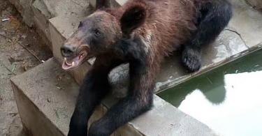 skinny bear
