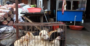 yulin dog meat festival