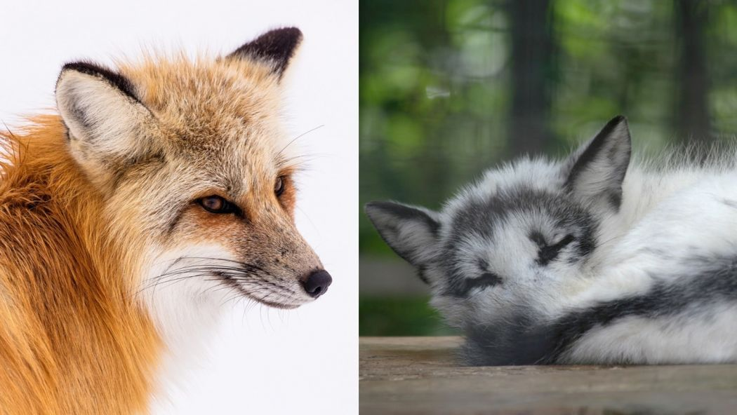 red fox marble fox