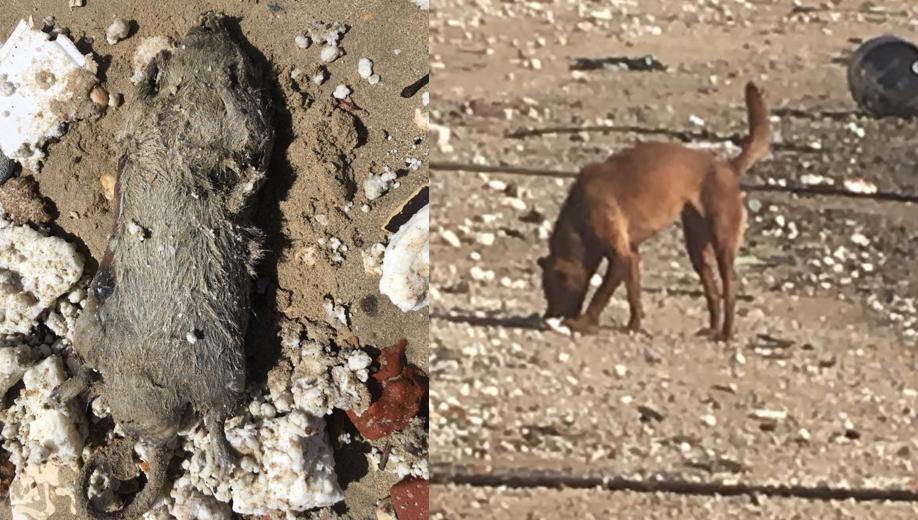 palm oil dead rat wild animal