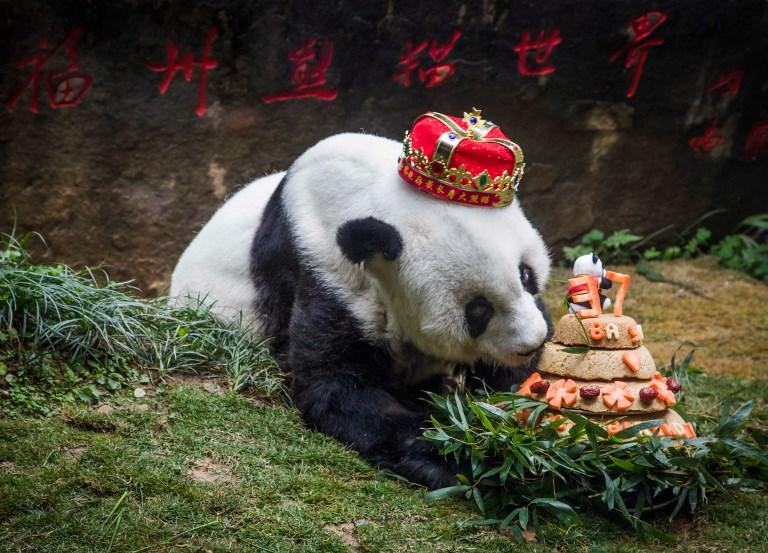 panda dead