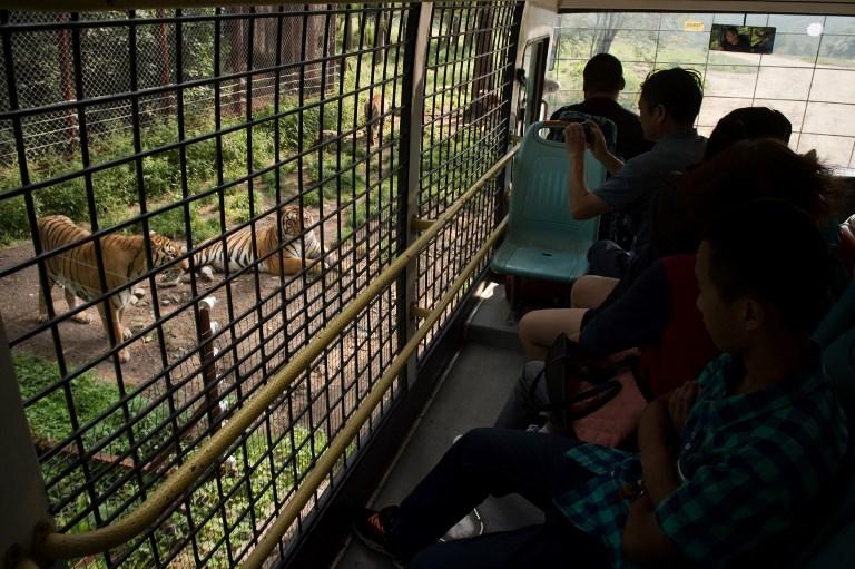 china siberian tiger