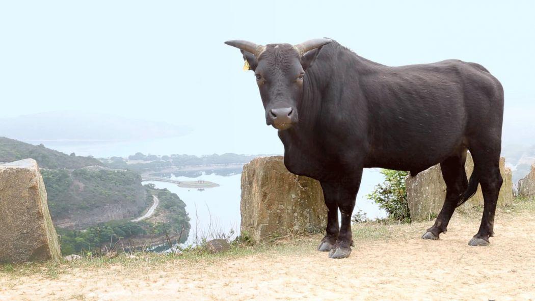 Lantau buffalo cow cattle