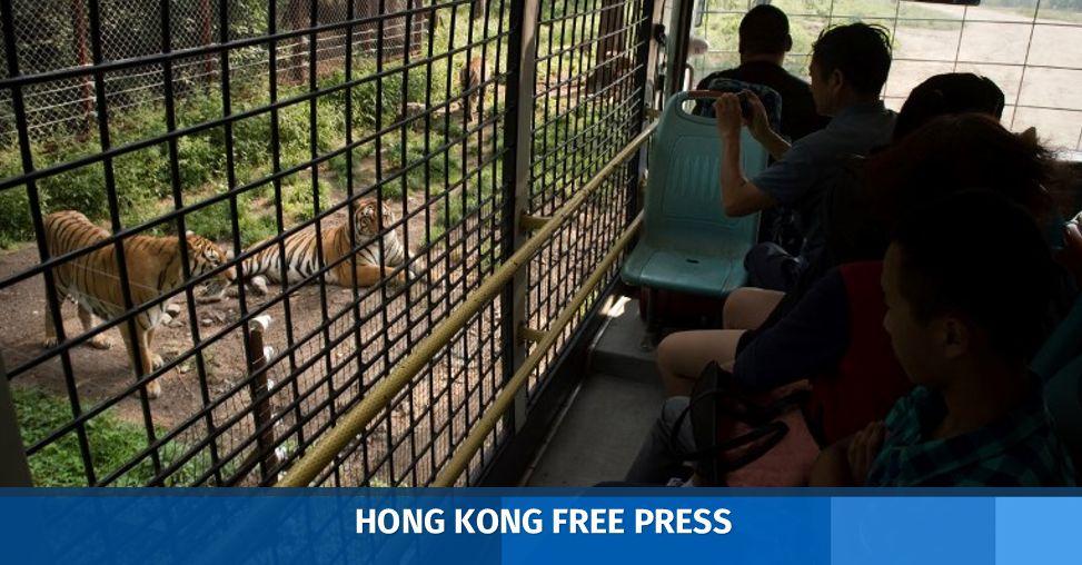 AFP siberian tiger