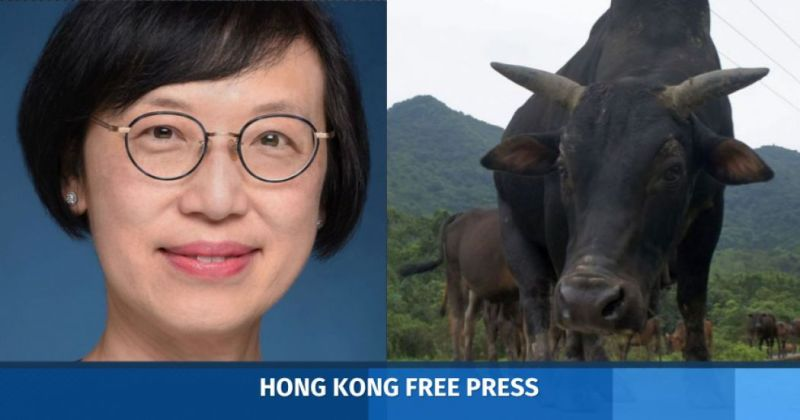 sophia chan cattle