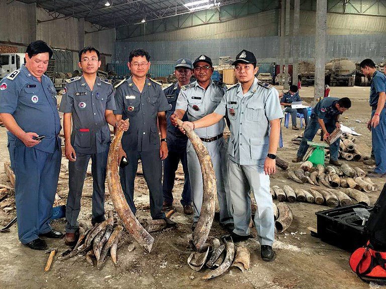 Cambodian authorities holding pieces of ivory