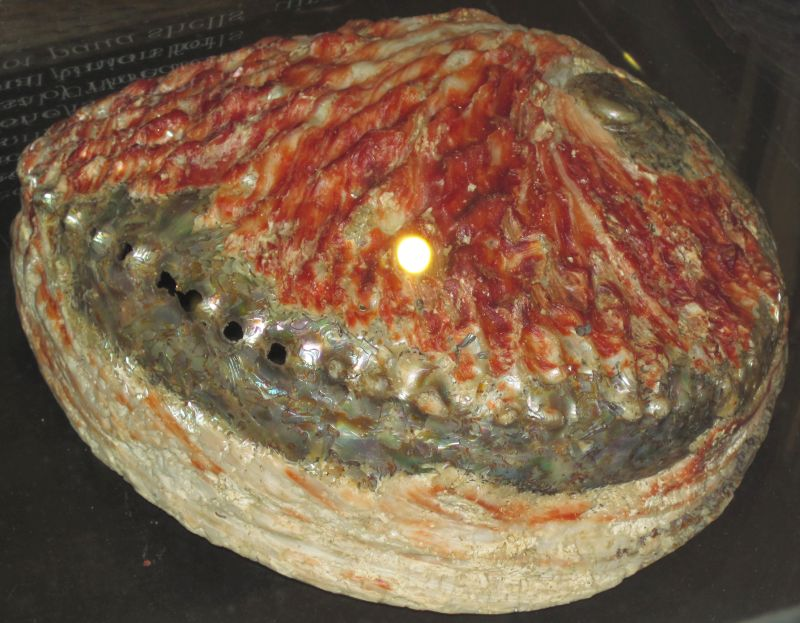 South African abalone