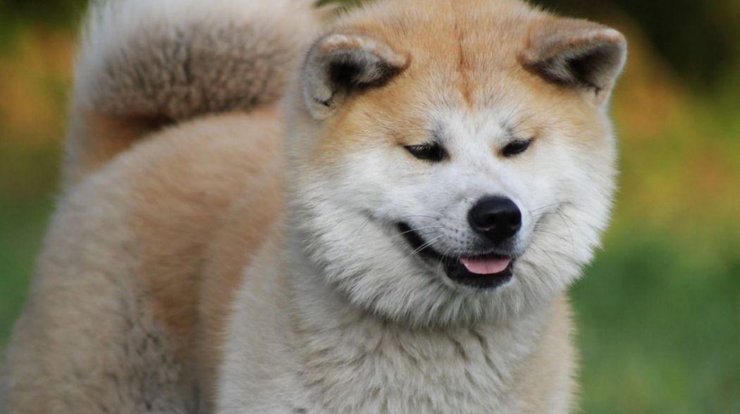 akita dog japan
