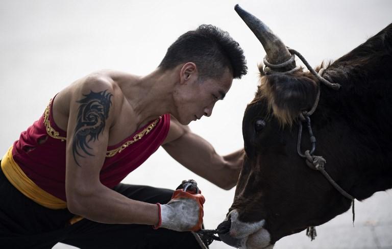 China bull fight