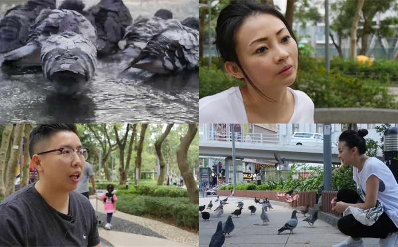hong kong pigeon and dove rescue