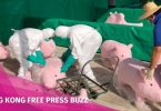 toy pigs swine flu