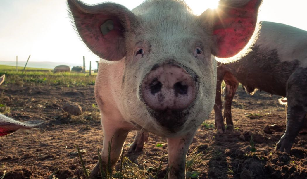Why we should cut out pork in the Year of the Pig | Hong