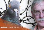 Tim Hamlett Pigeons