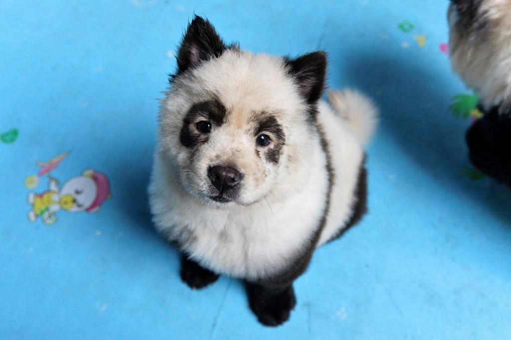 Dog black and white panda Cut Pet Games cafe Chengdu Sichuan