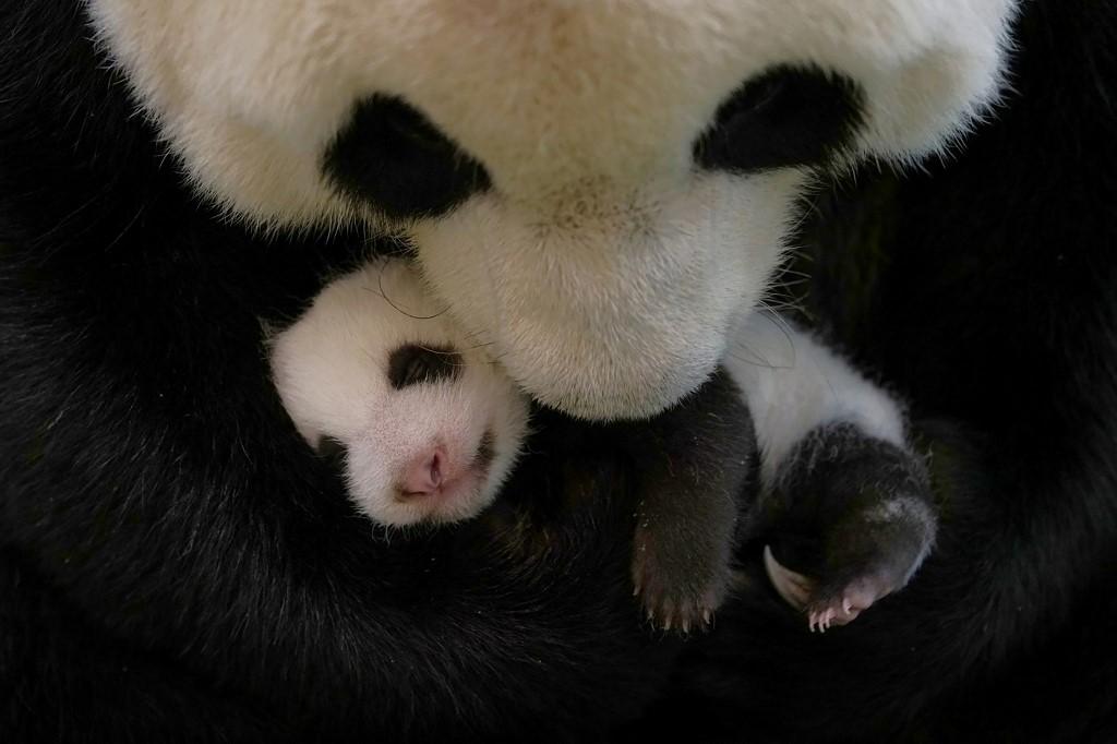 Taiwan Zoo panda
