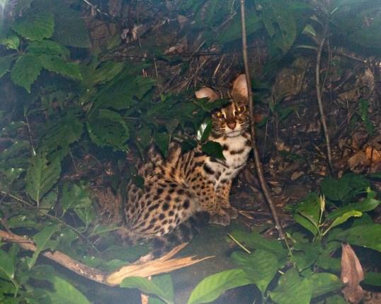 leopard cat herping