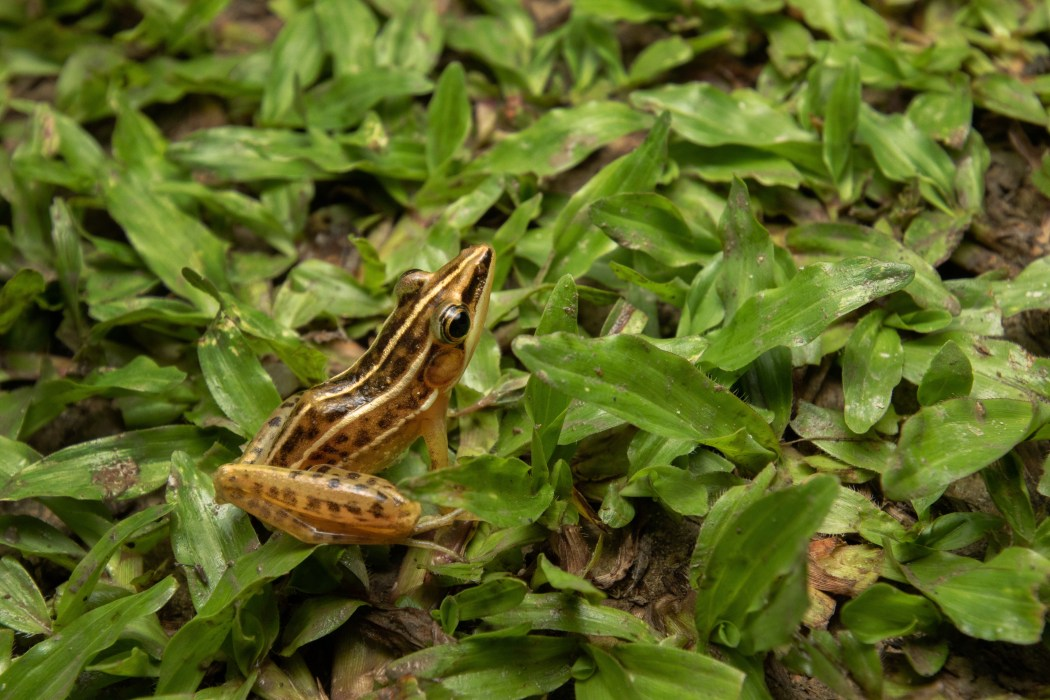 three striped grass frog