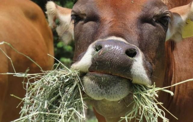 sapi makan rumput