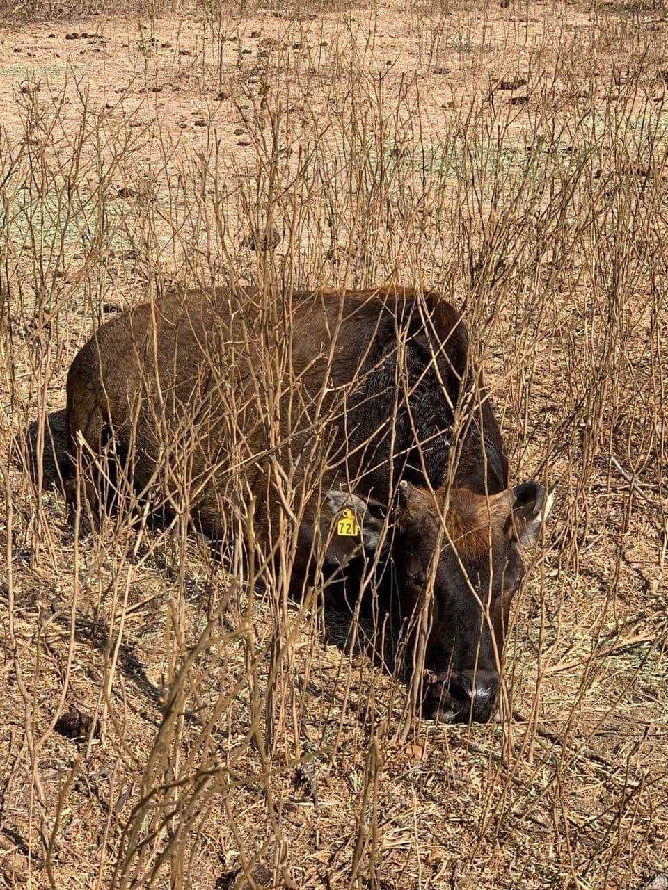 sapi sapi banteng kelaparan perubahan iklim penggurunan