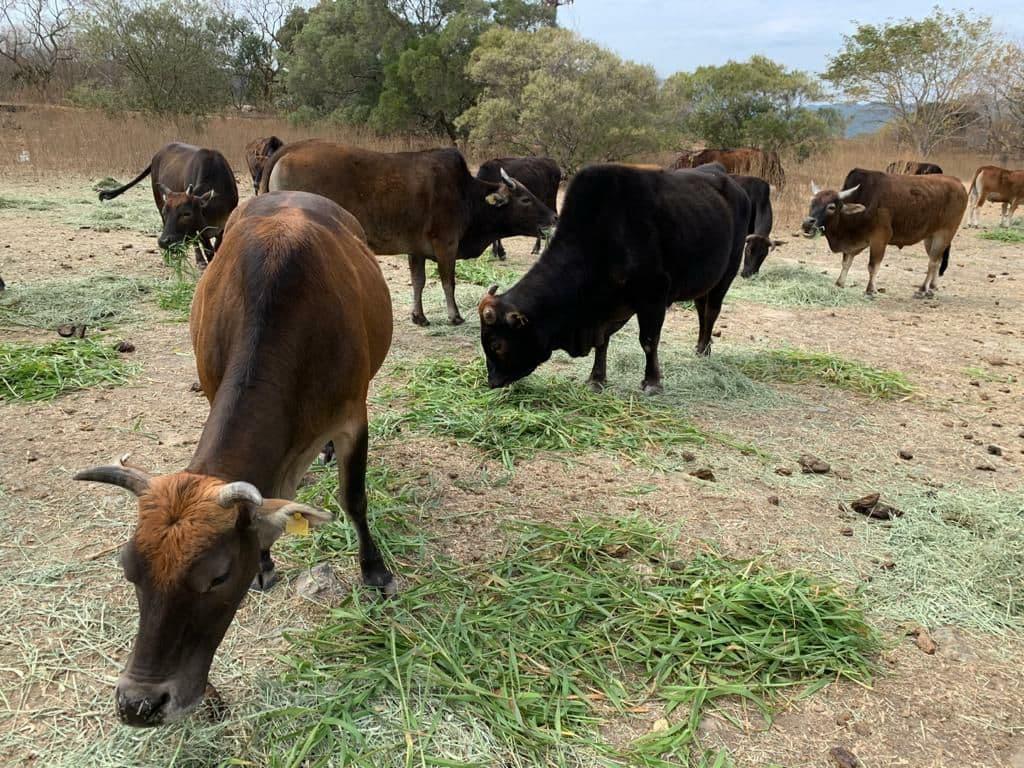 sapi sapi ternak banteng kelaparan perubahan iklim penggurunan