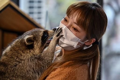 A woman cuddles a raccoon at an Exotics animal cafe in Shanghai