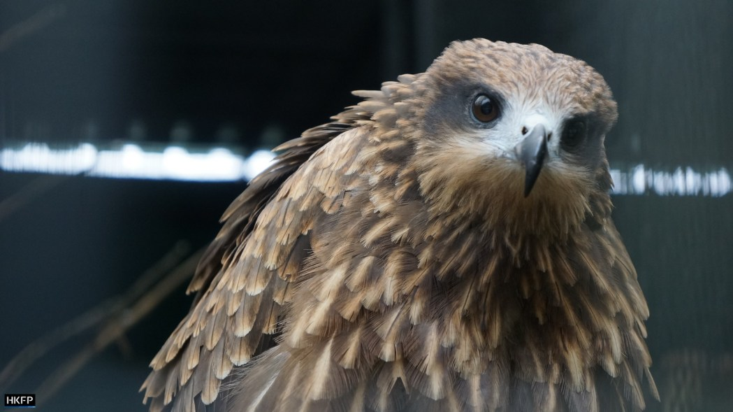 Rescued bird at the Jim Ades Raptor Sanctuary At Kadoorie Farm