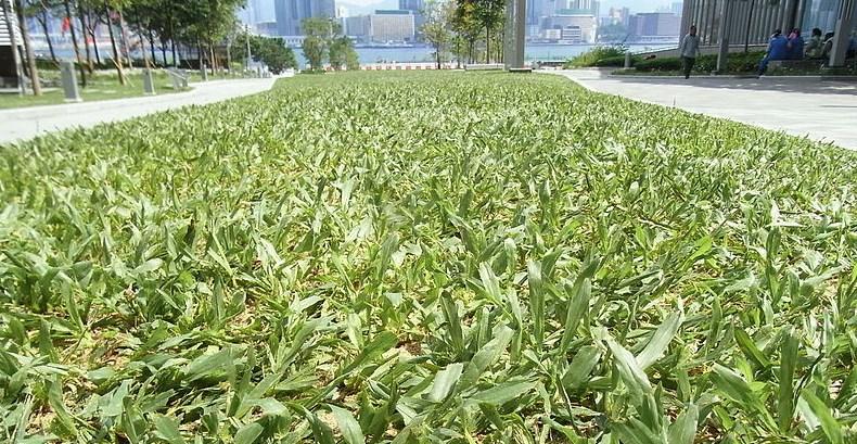 Grass at Tamar Park