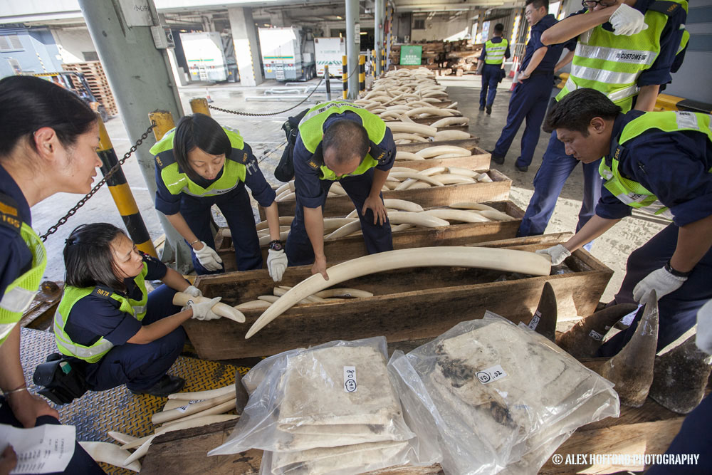Hong Kong Customs officers seize large shipment of illegal wildlife products from Nigeria to China.
